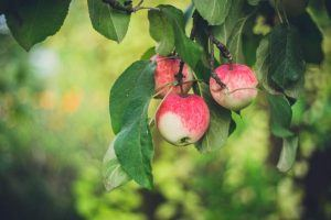 Selbstfindung - Äpfel an Apfelbaum